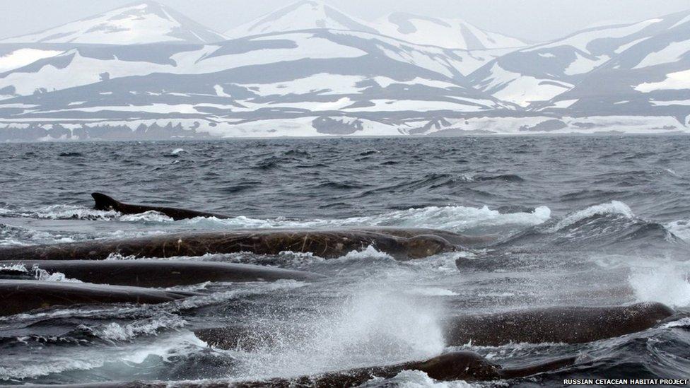 Bairds beaked whale (c) Erich Hoyt