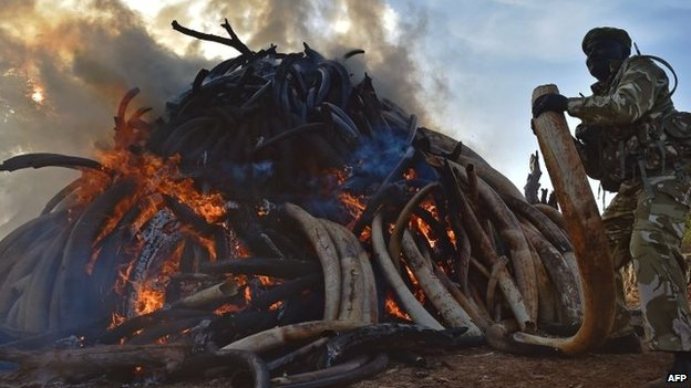 A Kenyan wildlife ranger puts a tusk on to a burning pile of 15 tonnes of elephant ivory seized in Kenya at Nairobi National Park  - 3 March 2015