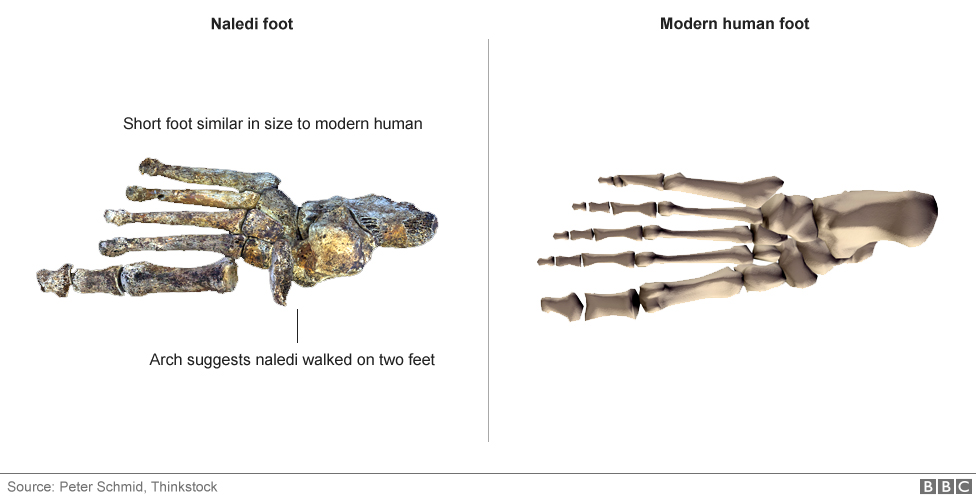 Short foot similar in size to a modern human. Arch suggests naledi walked on two feet