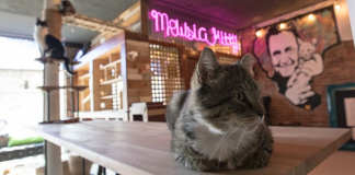 Cat perched on counter in Mewsic Kitty Cafe