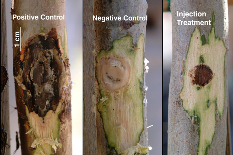 A series of three images show a branch of a tree that has a small area of bark scraped off. To the left, a tree infected with sudden Oak Death pathogen is partially rotted by the removal of bark. To the right, a tree infected with Sudden Oak Death pathogen but treated with phosphite shows significantly less damage.