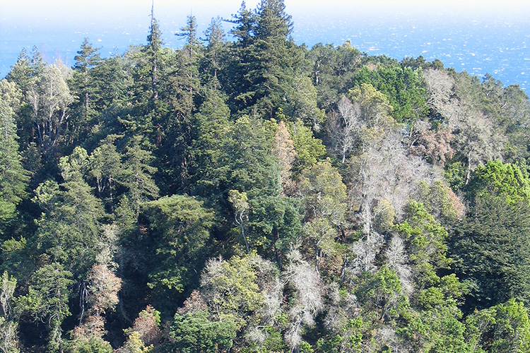 A hillside in Big Sur shows trees that have been killed by Sudden Oak Death.