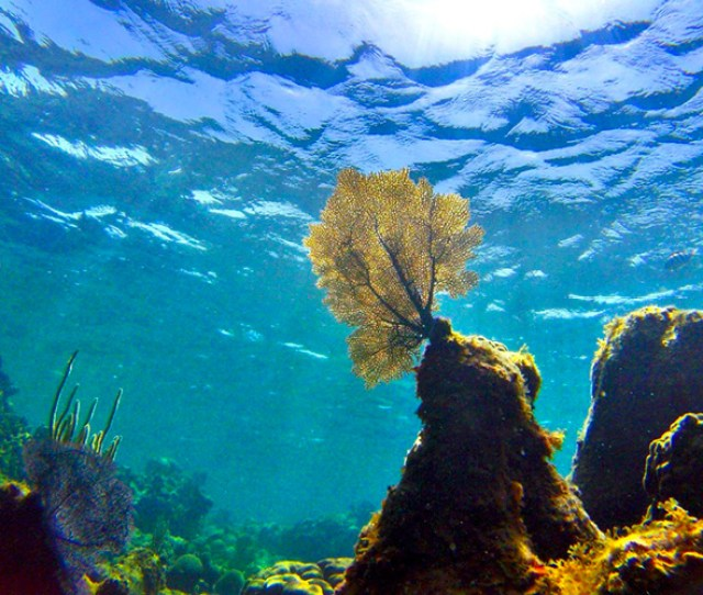 An Underwater Photo Of A Coral Looking Up Towards The Surface Of The Ocean