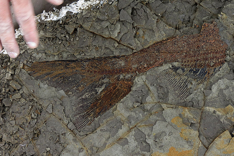 fossilized tail of fish