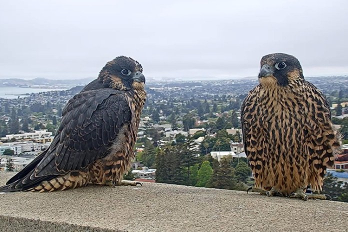 Berkeley's resident peregrine falcons, Grinnell and Annie, sit on a ledge atop the Campanile.