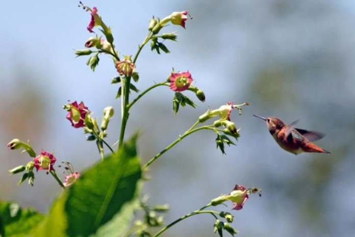 An Allen's hummingbird arrives at a flowering plant in search of food in the UC Botanical Garden.