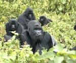 Mountain gorilla genome sequenced
