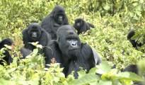 Mountain gorilla genome sequenced