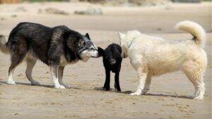 """一般都是吃了睡、睡了吃的""""懒货"""",它们中也不乏""""运动达人"""",甚至勇敢的""""弄潮儿""""。据澳洲《每日电讯报》12月14日报道,一只3个月大的澳洲迷你猪""""Hoggle""""每天都会步行至海边,去享受冲浪的刺激,成为海滩大明星。身为一只四条腿的宠物,它的行为实在出众。"""