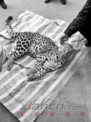黄陵县境内发现金钱豹 可惜已遭到猎杀 – 澳洲-澳洲唐人街
