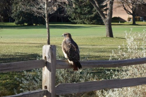 A Red Tailed Hawk perched near Wright Field at CA.