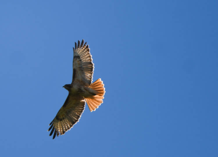 A Red-Tailed Hawk takes flight over Colorado Academy.