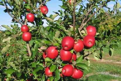 See the Reasons Why You Should Not Eat Apples at Night
