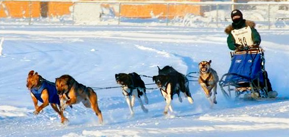 Sled dogs lead the way in quest to slow aging