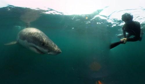diver next to a shark