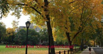 Elm Trees on Fordham Campus
