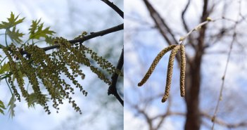 Oak and birch catkins