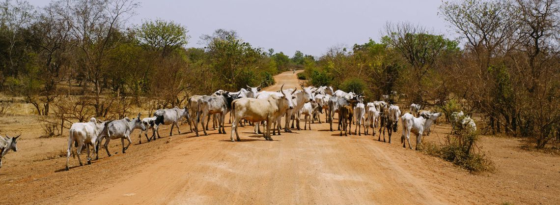 Cattle return to pasture