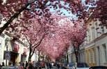 Bonn cherry blossoms