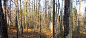 Reforestation in White Pines Nature Preserve, North Carolina, U.S.
