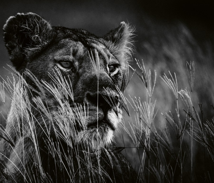 """The lioness on the lookout,"" Tanzania, 2018. Photo © 2019 Laurent Baheux. All rights reserved."