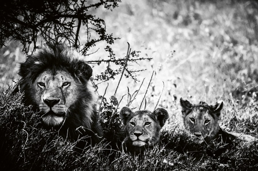 """Lion cubs and father,"" Tanzania 2018 Photo © 2019 Laurent Baheux. All rights reserved."