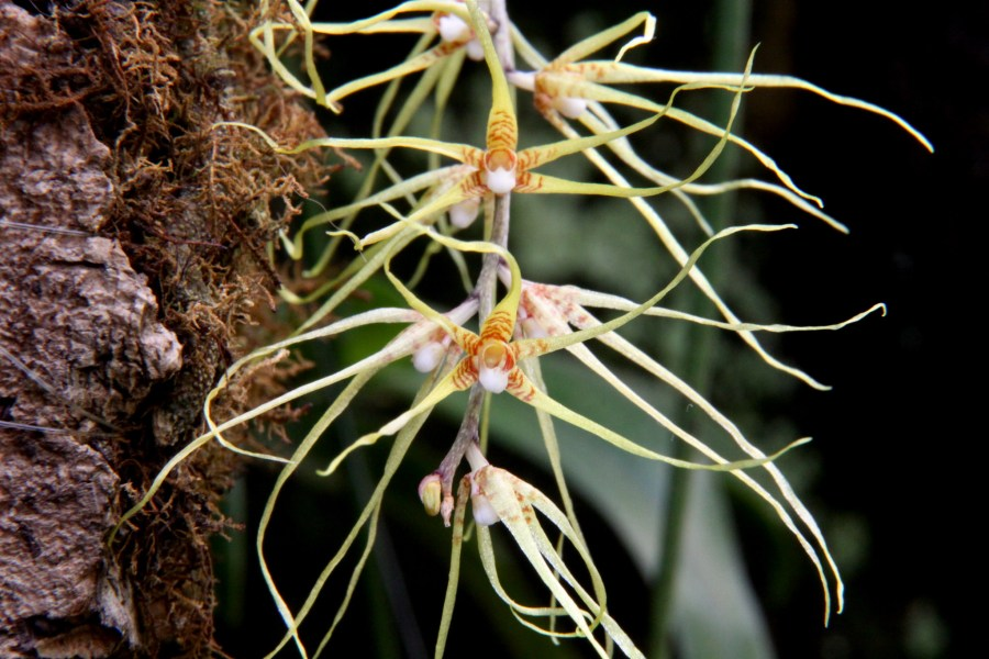 Rhinerrhiza divitiflora, also known as the Raspy Root Orchid. cskk, Flickr