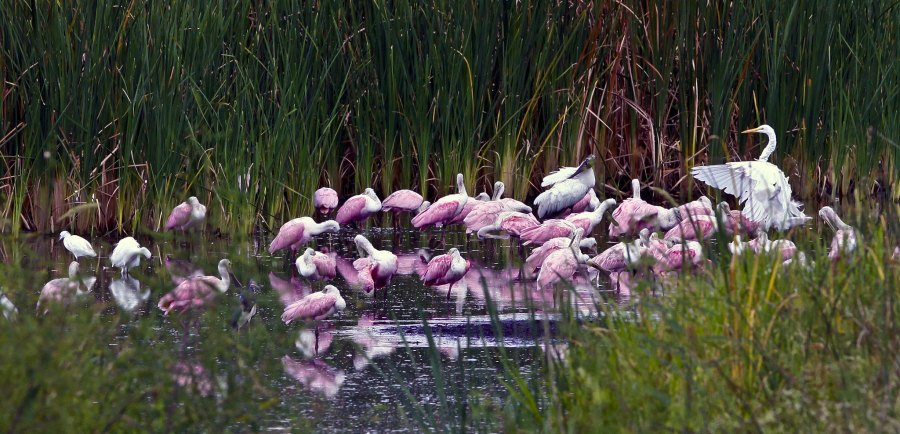 A pool of Spoonbills. Craig ONeal, Flickr