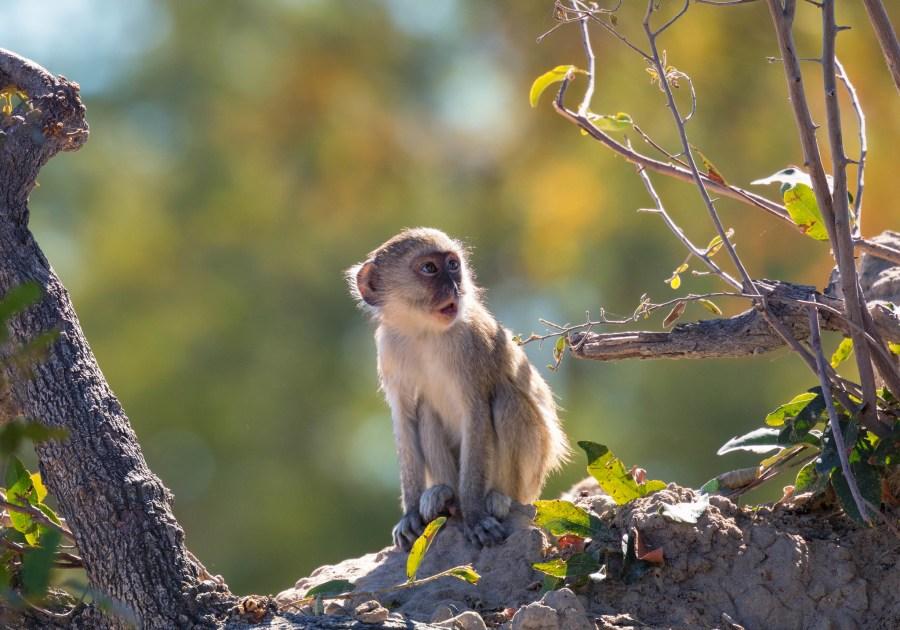 Photo caption : Certaines espèces de petits singes comme le vervet pourraient être porteurs du virus et le propager entre différentes espèces. Michael Levine-Clark, Flickr