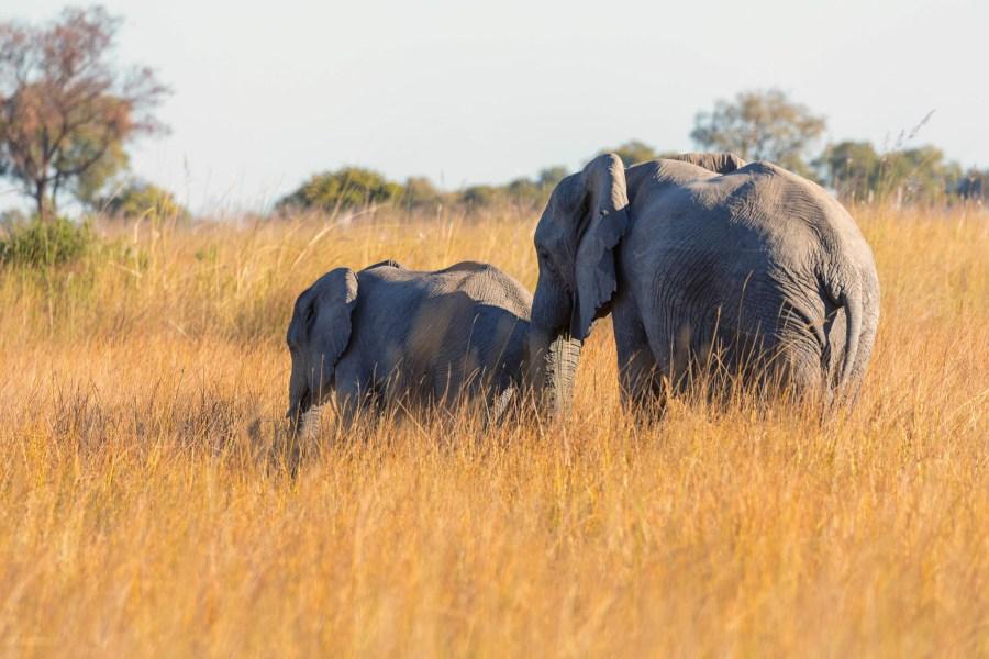 Elephants in Botswana's Okavango Delta. Michael Levine-Clark, Flickr