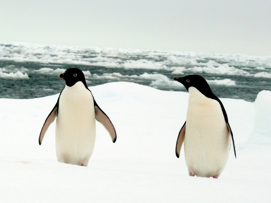 Adélie penguins are common along Antarctic coastlines. Nordstjern, Flickr
