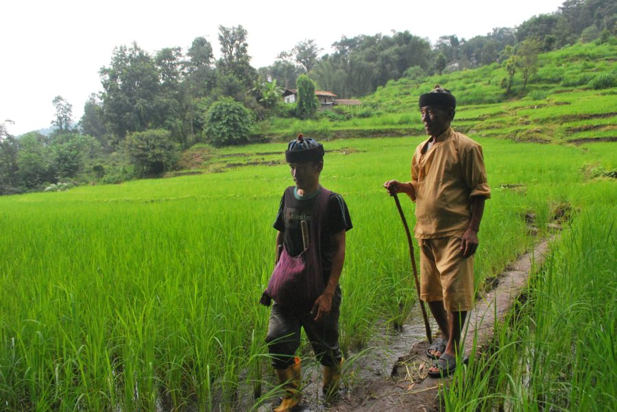 """Agricultores indígenas de la aldea de Lingsey en el distrito de Kalimpong caminan entre los campos de la variedad local de arroz denominada """"Adday"""". Nawraj Gurung"""