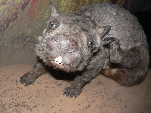 Australia's most critically endangered mammal, the northern hairy-nosed wombat. Jade, Flickr