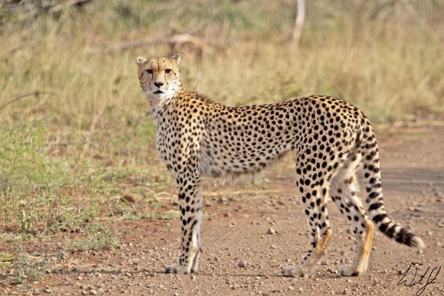 Un guepardo en el Parque Nacional Kruger de Sudáfrica, un área protegida que se encuentra entre las reservas de caza más grandes de África. Will Sweet, Flickr