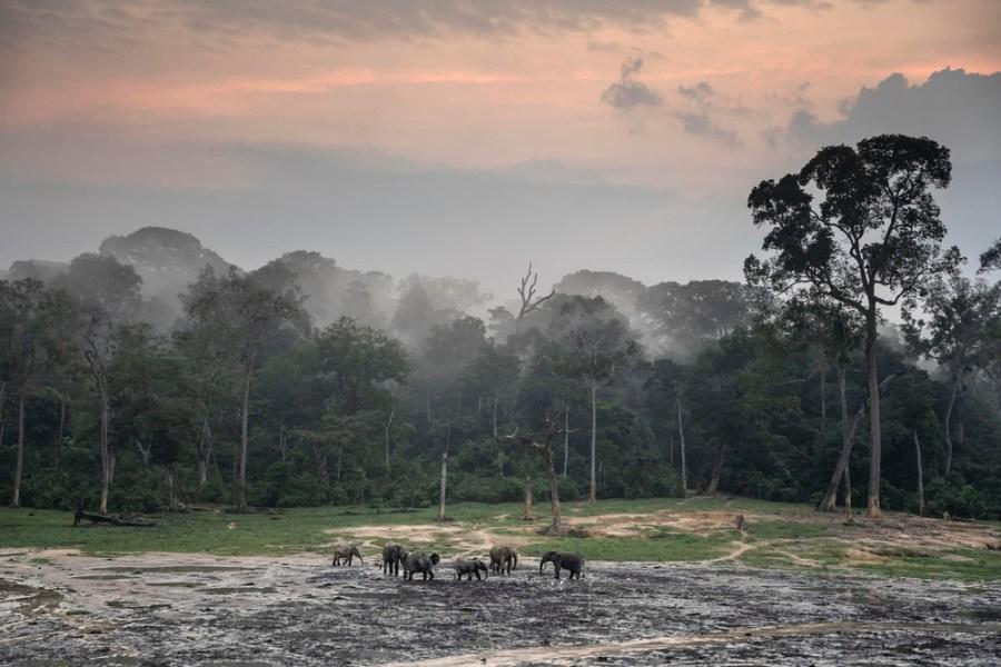 African forest elephants (Loxodonta cyclotisat) at sunrise at Dzanga Bai, Dzanga-Sangha Special Reserve, Central African Republic. Andy Isaacson, WWF
