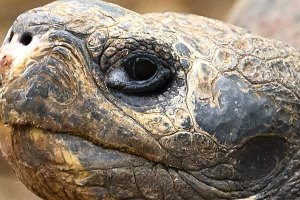 A Galápagos tortoise, the largest living tortoise species. Pedro Szekely, Flickr