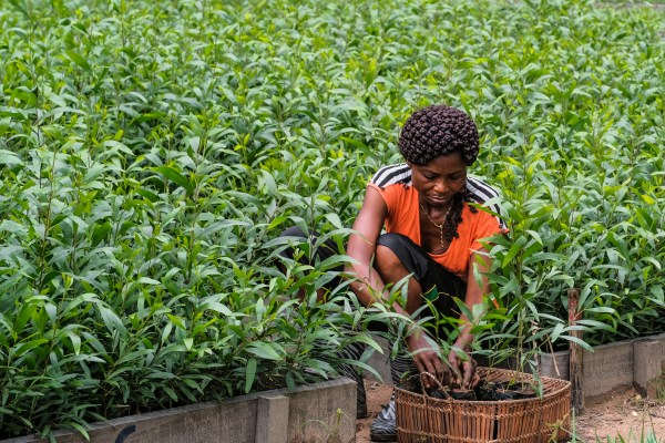 Acacia trees being planted in Yangambi, Democratic Republic of the Congo. Photo by Axel Fassio/CIFOR