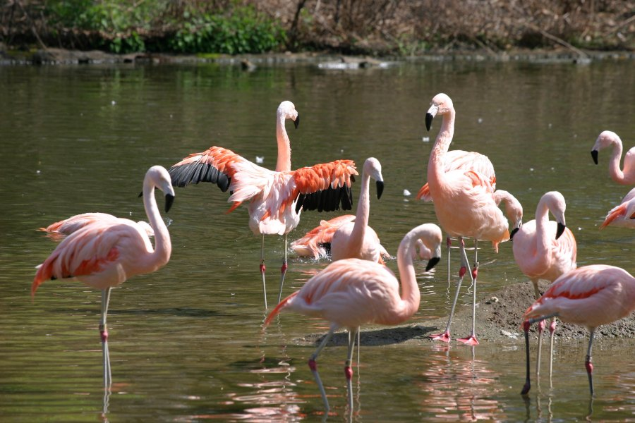Flamingoes at the Bronx Zoo, where the exotic birds were struck by West Nile Virus in 1999. Steven Tom, Flickr
