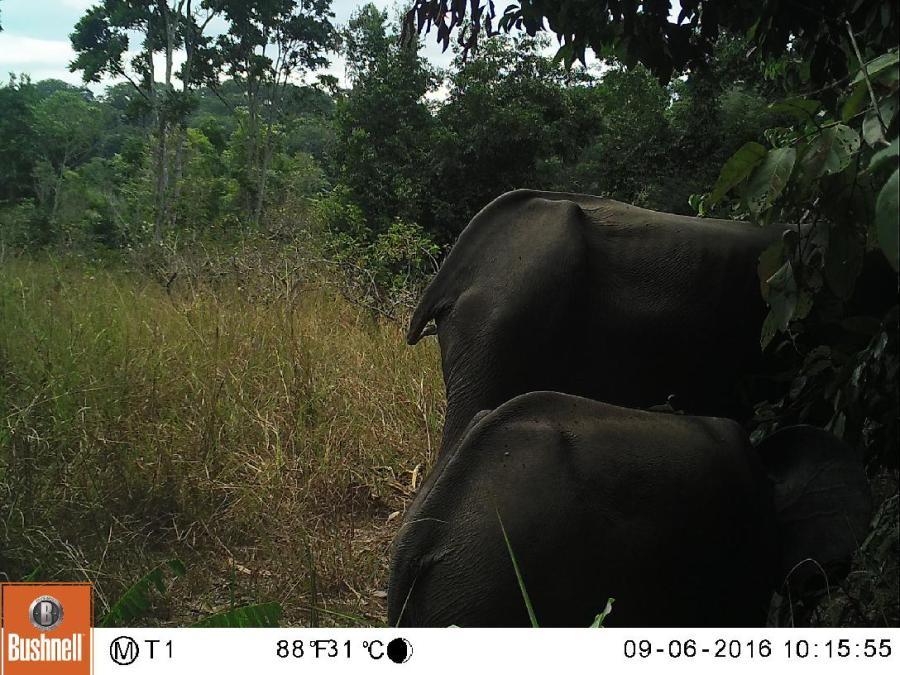 Une photo prise par un piège photographique montre deux éléphants de forêt souffrant de malnutrition dans le parc national de Lopé, au Gabon. Photo: Anabelle Cardoso