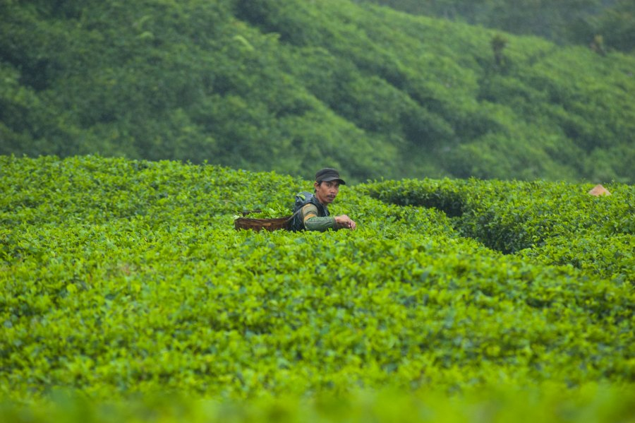 A tea picker in West Java, Indonesia collects tea leaves in a basket. Aulia Erlangga, CIFOR