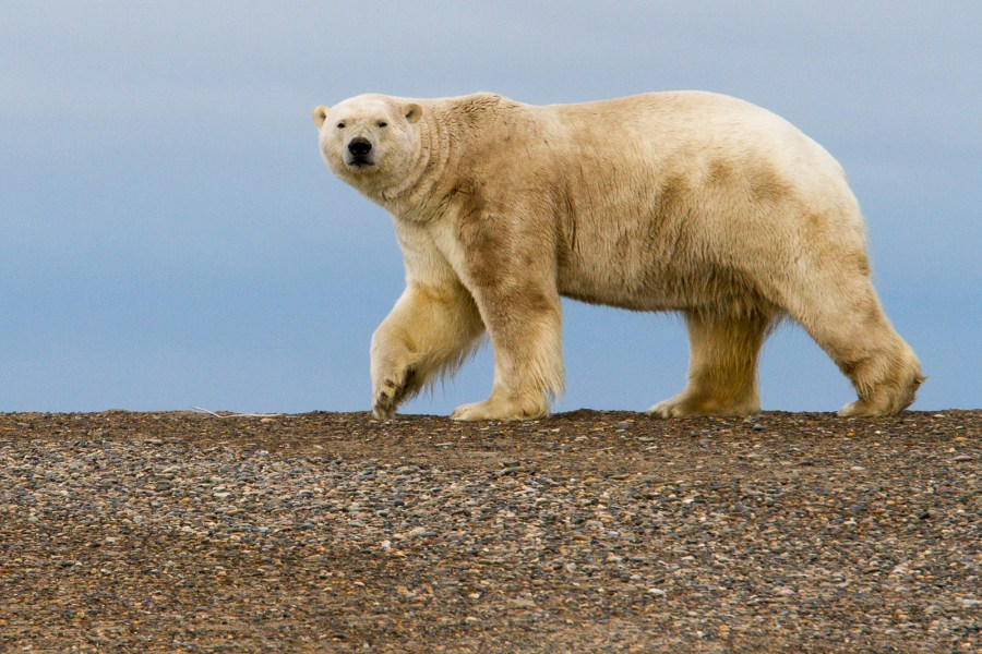 A polar bear on Barter Island, a part of the Arctic National Wildlife Refuge, part of which was opened for oil and gas development during the Trump administration. Arthur T. LaBar, Flickr