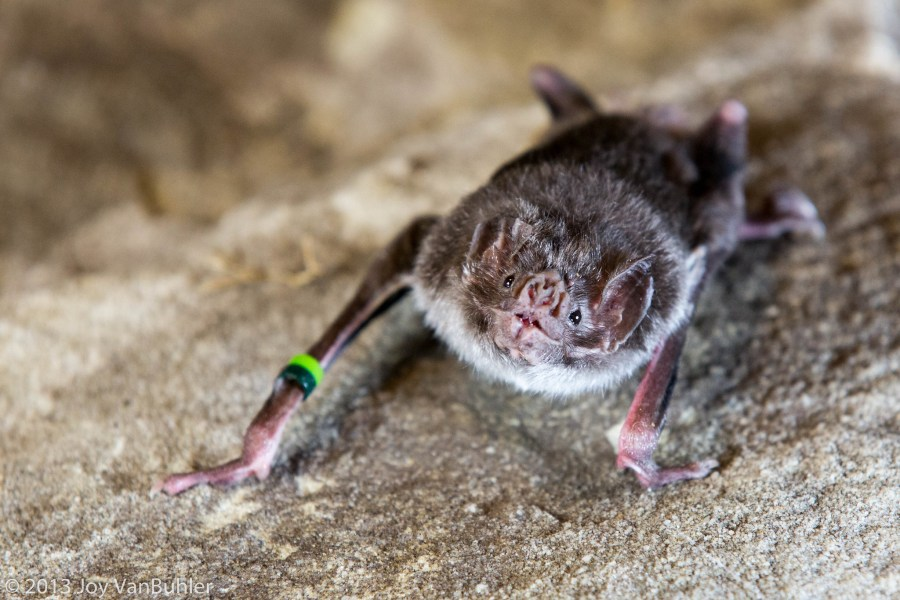 A common vampire bat at a bat conservation event in Michigan. Joy VanBuhler, Flickr