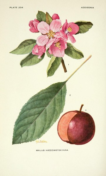 The Niedzwetzky apple is one of world's most threatened tree species, with fewer more than 100 remaining in Kyrgyzstan. Biodiversity Heritage Library