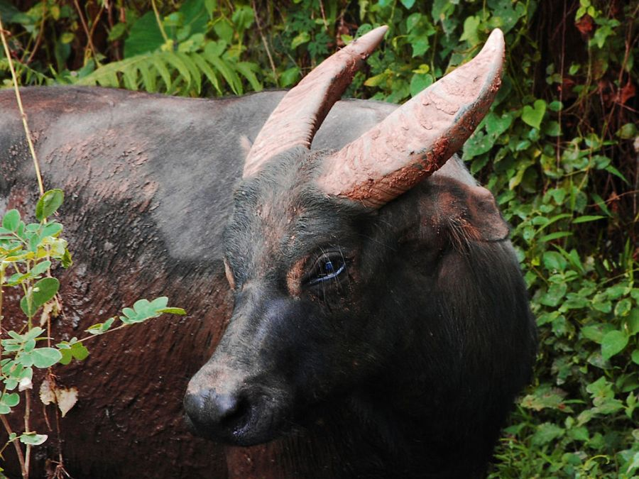 A tamaraw at Mounts Iglit-Baco National Park on the island of Mindoro. Gregg Yan, Wikimedia Commons