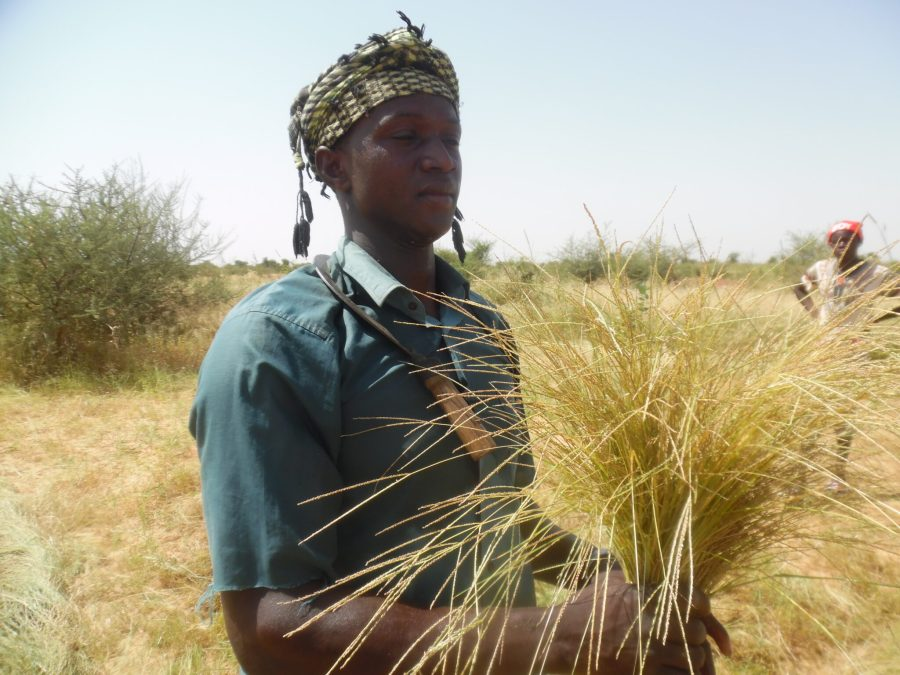 A form of millet with small grains, fonio is being grown increasingly in West Africa, supporting food security, nutrition and sustainable land use. Hamidou Guindo
