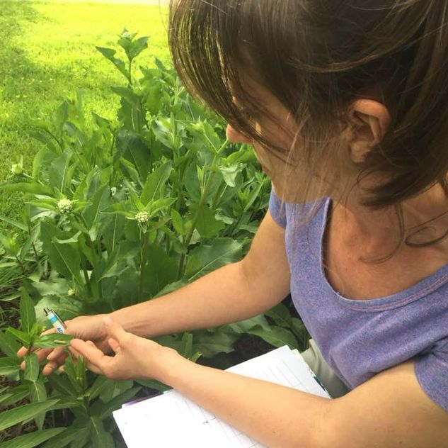 Abigail Derby Lewis monitors milkweed and monarch eggs and caterpillars in her yard for the Field Museum's Monarch Community Science Project. Photo courtesy of Abigail Derby Lewis.