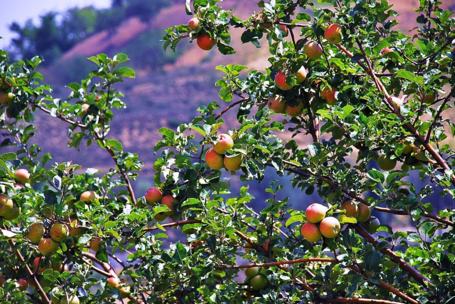 Kashmir is famous for its apples and other temperate-climate fruits. Basharat Alam Shah, Flickr