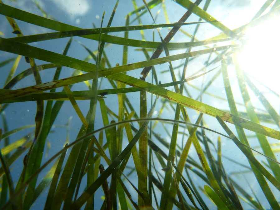 Seagrass, such as eelgrass, absorb 10% of carbon in the ocean annually. E. French-E. Shields, VIMS