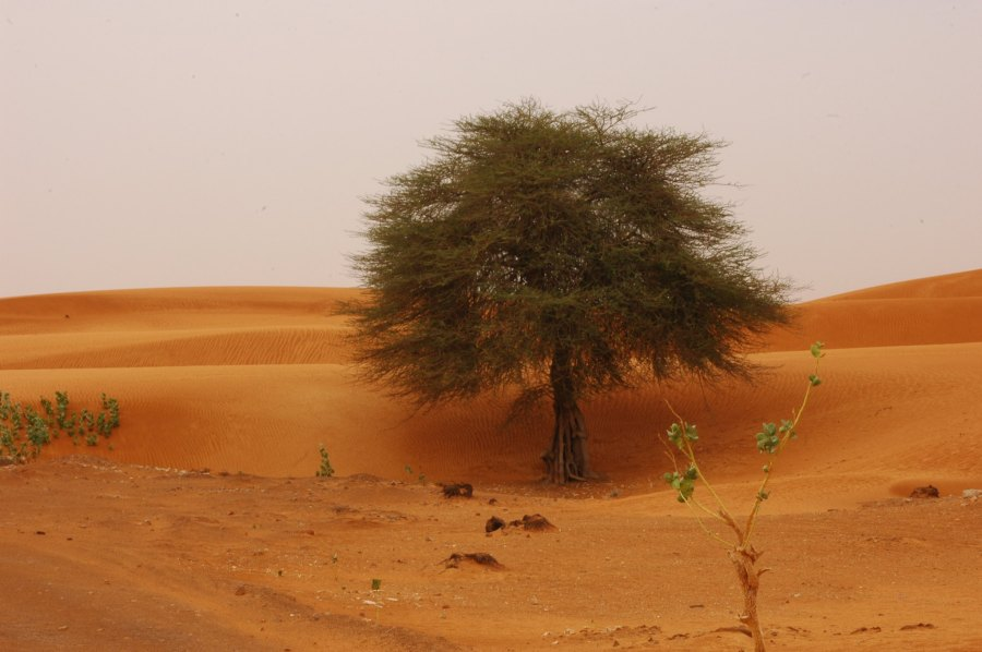 A tree and some vegetation dot the desert landscape, which makes up much of Mauritania. Vix Mørá, Flickr