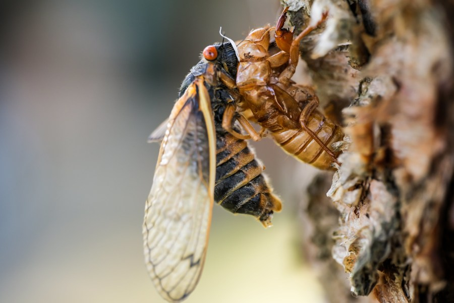 Brood X cicadas live most of their life underground, until they emerge to the surface, shed their skins and mate. Geoff Livingston, Flickr